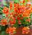 Nemesia 'Sunsatia Plus Little Orange'