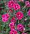 Dianthus 'Sunflor Purple Wedding'