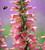 Digitalis x 'Foxlight Rose Ivory'