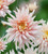 Harvest Festival Chrysanthemum Collection