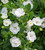 Calibrachoa 'Double Can-Can White Improved'