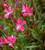 Gaura lindheimeri 'Whiskers Deep Rose' (syn. Oenothera)
