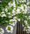 Scaevola aemula 'White Print'