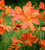 Crocosmia 'Peach Sunrise'