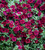 Calibrachoa 'Double Can-Can Wine Red'