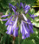 Agapanthus 'Lilac Lullaby'