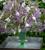 Heliotropium arborescens 'Reva'