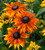 Echibeckia 'Summerina Yellow'