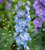 Amethyst and Sapphire Delphinium Collection