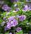 Chaenostoma cordatum 'Scopia Double Ballerina Lavender'