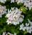 Pelargonium 'Summer Twist White' (Zonal)