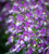 Angelonia augustifolia 'Archangel Blue Bicolor'