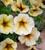 x Petchoa hybrida 'BeautiCal French Vanilla'