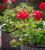 Pelargonium 'Horizon Violet' F1 (Zonal)