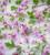 Pelargonium 'Deerwood Lavender Lass' (Scented)