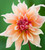 Bathing Beauties Dahlia Collection