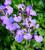 Salvia 'Blue Merced'