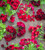 Queen Victoria Pelargonium Collection