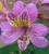 Alstroemeria 'Lucinda'