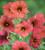x Petchoa hybrida 'BeautiCal Cinnamon'