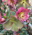 Helleborus x glandorfensis