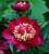 Paeonia lactiflora 'Charles Burgess'