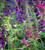 Summer Carnival Salvia Collection