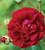Rosa 'Tuscany Superb'