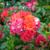 Rosa 'Cinco de Mayo'