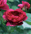 Rosa 'Timeless Purple'