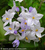 Solanum jasminoides 'Bleu'