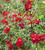 Rosa 'Flower Carpet Ruby' (Groundcover)