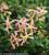 Trachelospermum asiaticum 'Rose'
