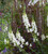 Antirrhinum majus 'White Giant' F1