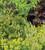 Briza maxima (Greater Quaking Grass)
