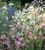 Nicotiana x hybrida 'Whisper Mixed' F1