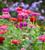 Zinnia elegans 'Giant Dahlia Mix'