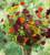 Tithonia rotundiflora 'Torch'
