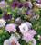 Scabiosa atropurpurea 'Olympia Mix'