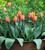 Tulip 'Prinses Irene'