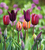 Venetian Tulip Collection
