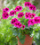Pelargonium 'Ashby'