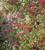 Centranthus ruber 'Coccineus' (syn. 'Coccinea)