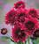 Chrysanthemum 'Smokey Purple'