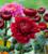 Chrysanthemum 'Payton Blaze Red'