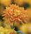 Chrysanthemum 'Allouise Orange'
