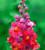 Antirrhinum majus 'Sonnet Orange Scarlet' F1