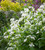 Lunaria annua var. albiflora