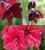 Christmas Amaryllis Collection