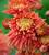 Chrysanthemum 'Pandion Bronze'